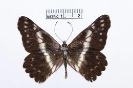 Image of <i>Catasticta teutila</i> (Doubleday 1847)