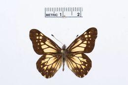 Image of <i>Catasticta theresa</i> Butler & Druce 1874