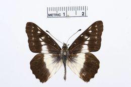 Image of <i>Catasticta tomyris</i> (Felder & Felder 1865)