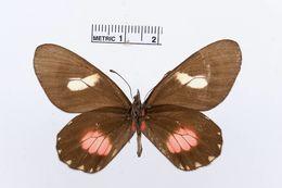 Image of <i>Archonias brassolis</i> (Fabricius 1776)