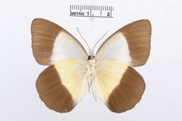 Image of <i>Aoa affinis</i> (Snellen van Vollenhoven 1865)