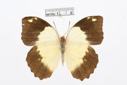 Image of <i>Eronia cleodora</i> Hübner (1823)