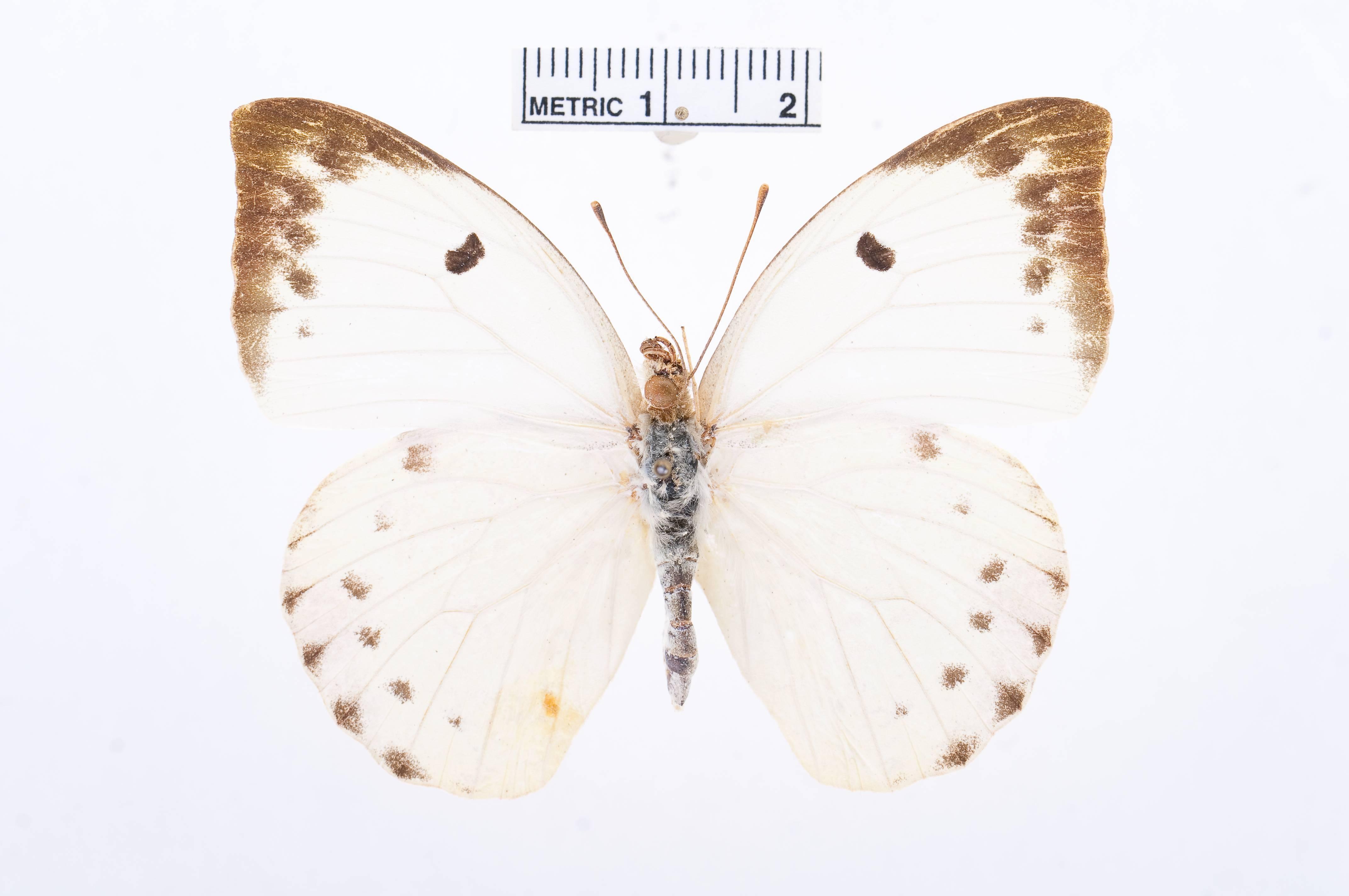 Image of <i>Gideona lucasi</i> (Grandidier 1867)