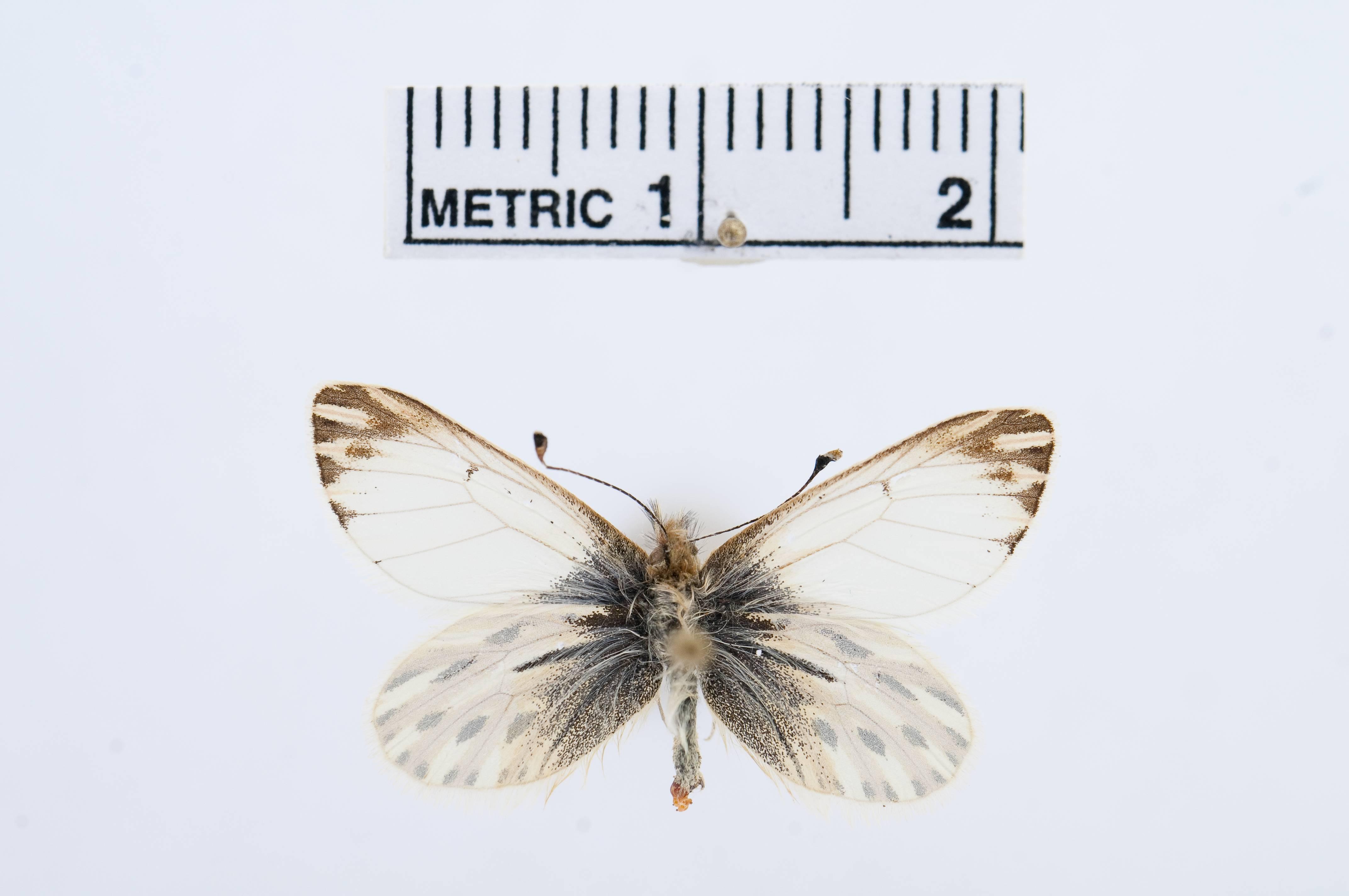 Image of <i>Infraphulia illimani</i> (Weymer 1890)