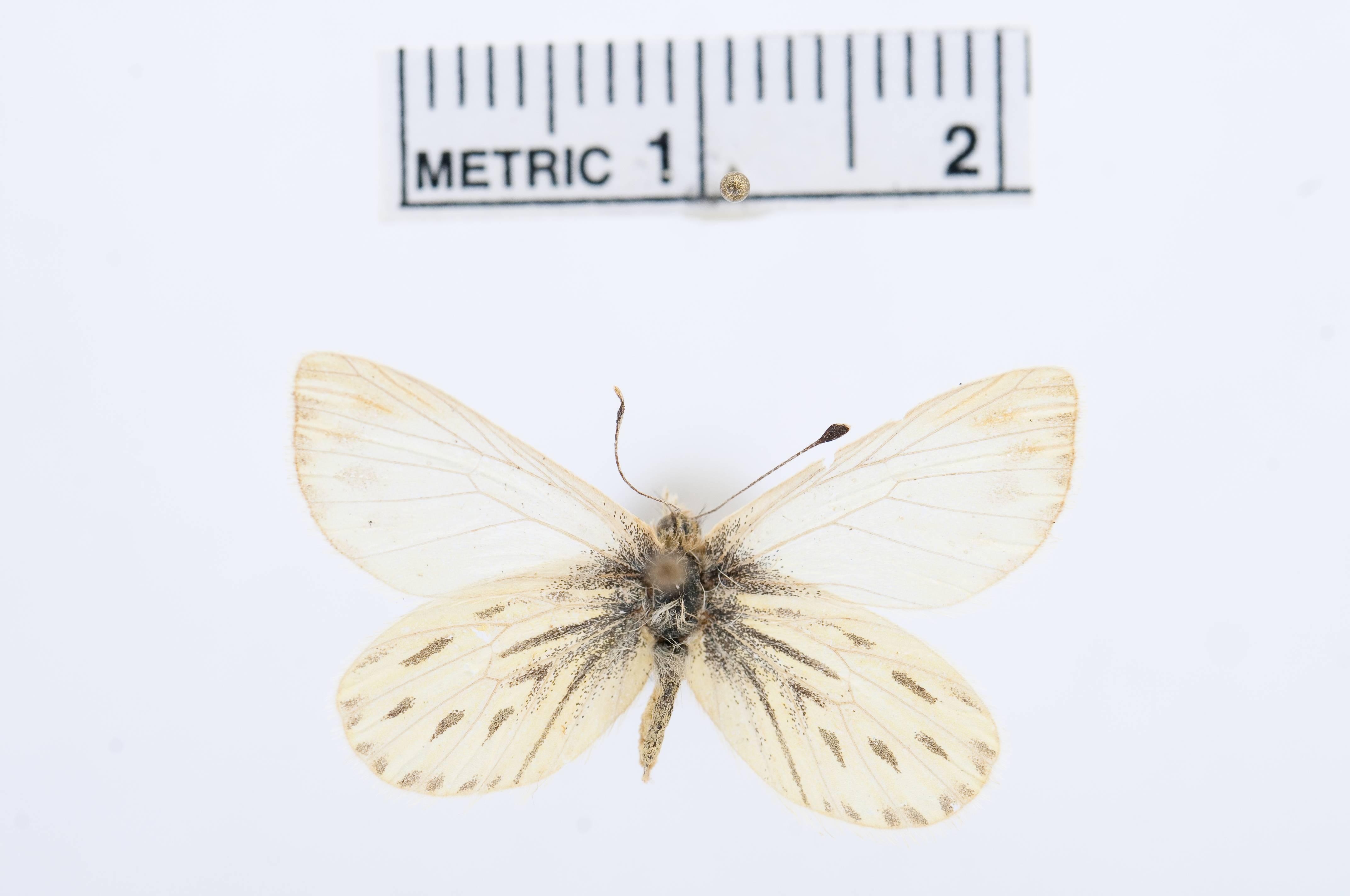 Image of <i>Infraphulia ilyodes</i> (Ureta 1955)