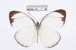 Image of <i>Itaballia demophile</i> (Linnaeus 1763)