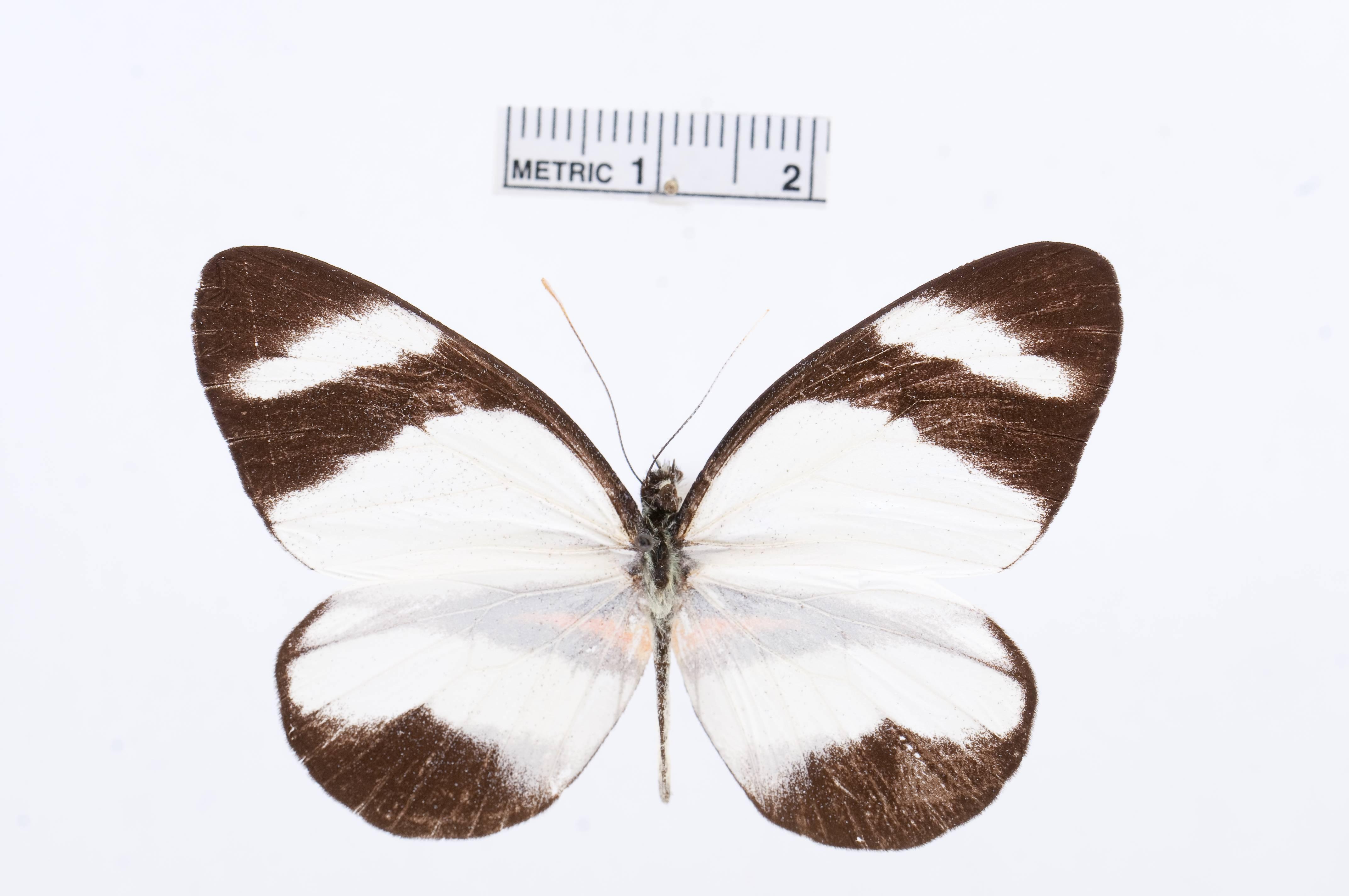 Image of <i>Perrhybris lorena</i> (Hewitson 1852)