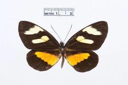 Image of <i>Perrhybris lypera</i> (Kollar 1850)
