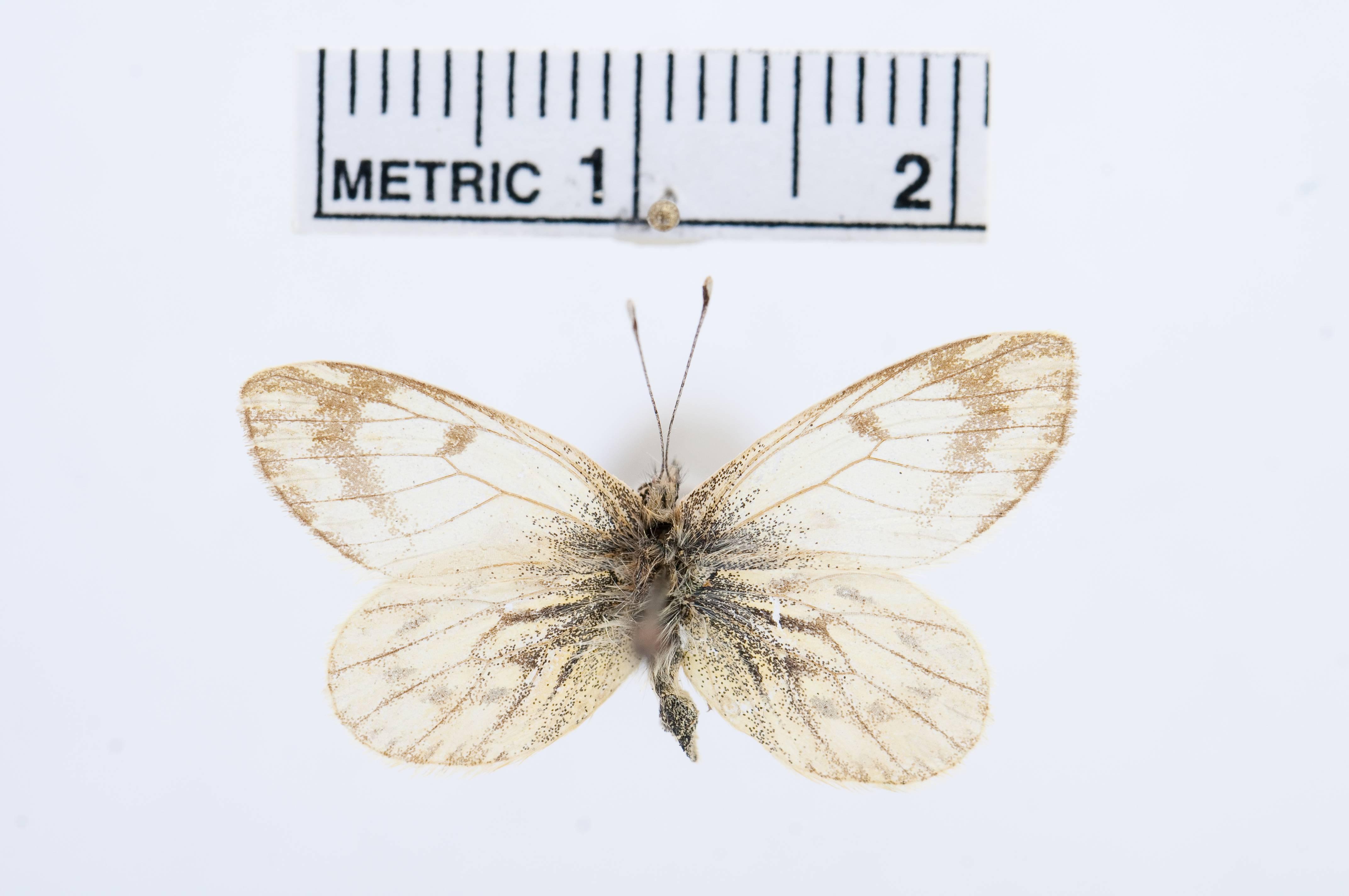 Image of <i>Phulia nannophyes</i> Dyar 1913