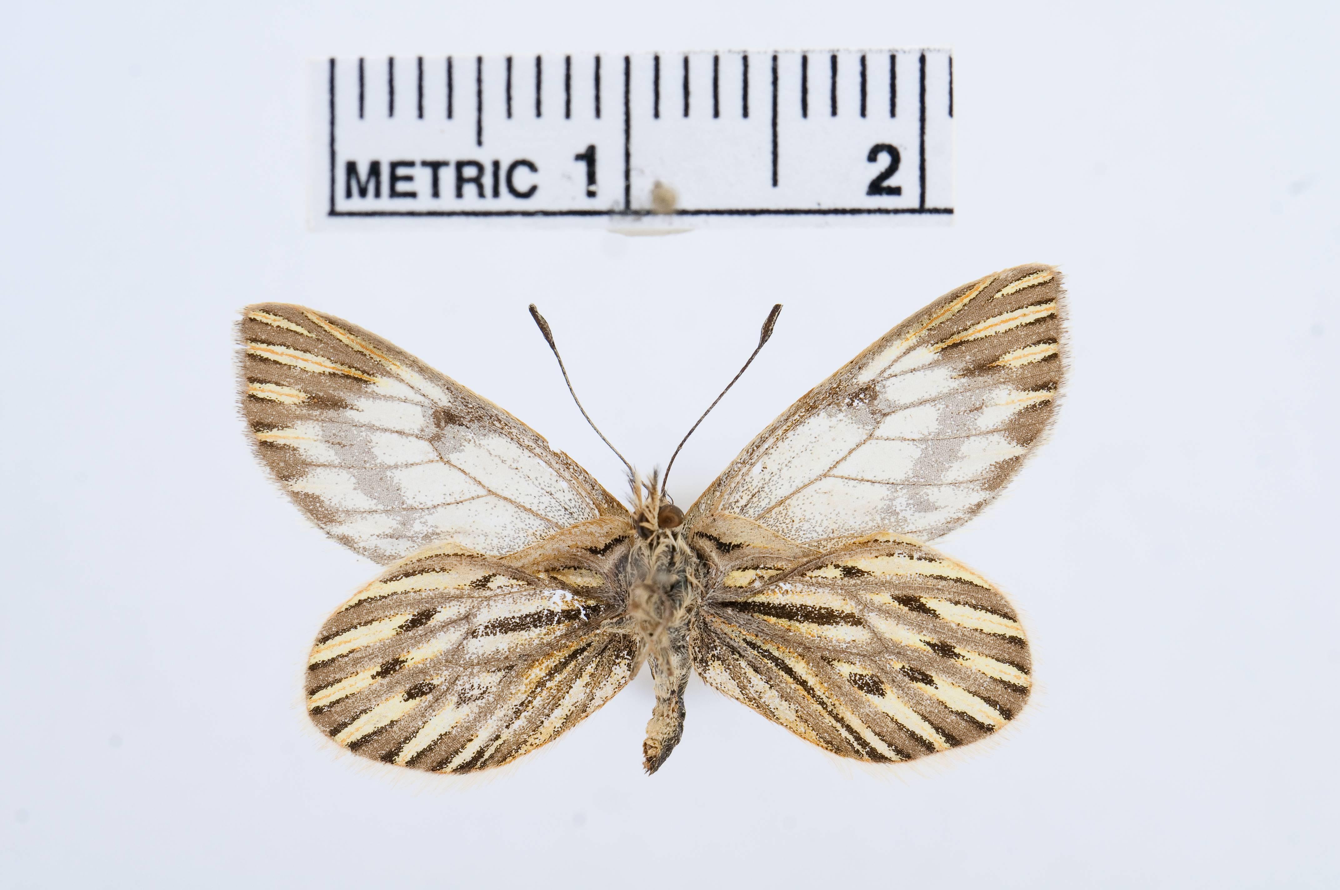 Image of <i>Phulia nymphula</i> (Blanchard 1852)