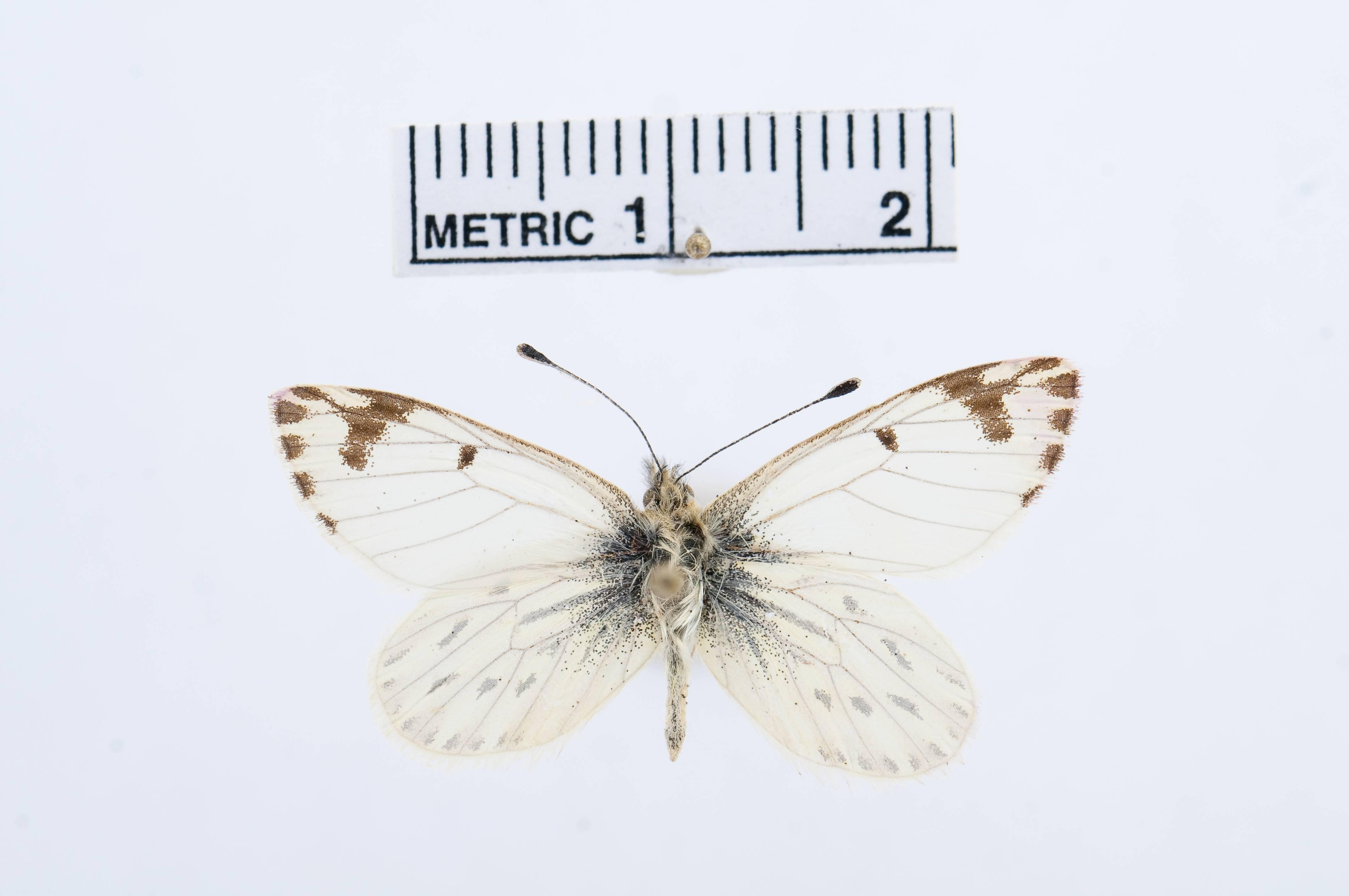 Image of <i>Phulia paranympha</i> Staudinger 1894
