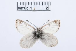 Image of <i>Pierphulia nysias</i> (Weymer 1890)