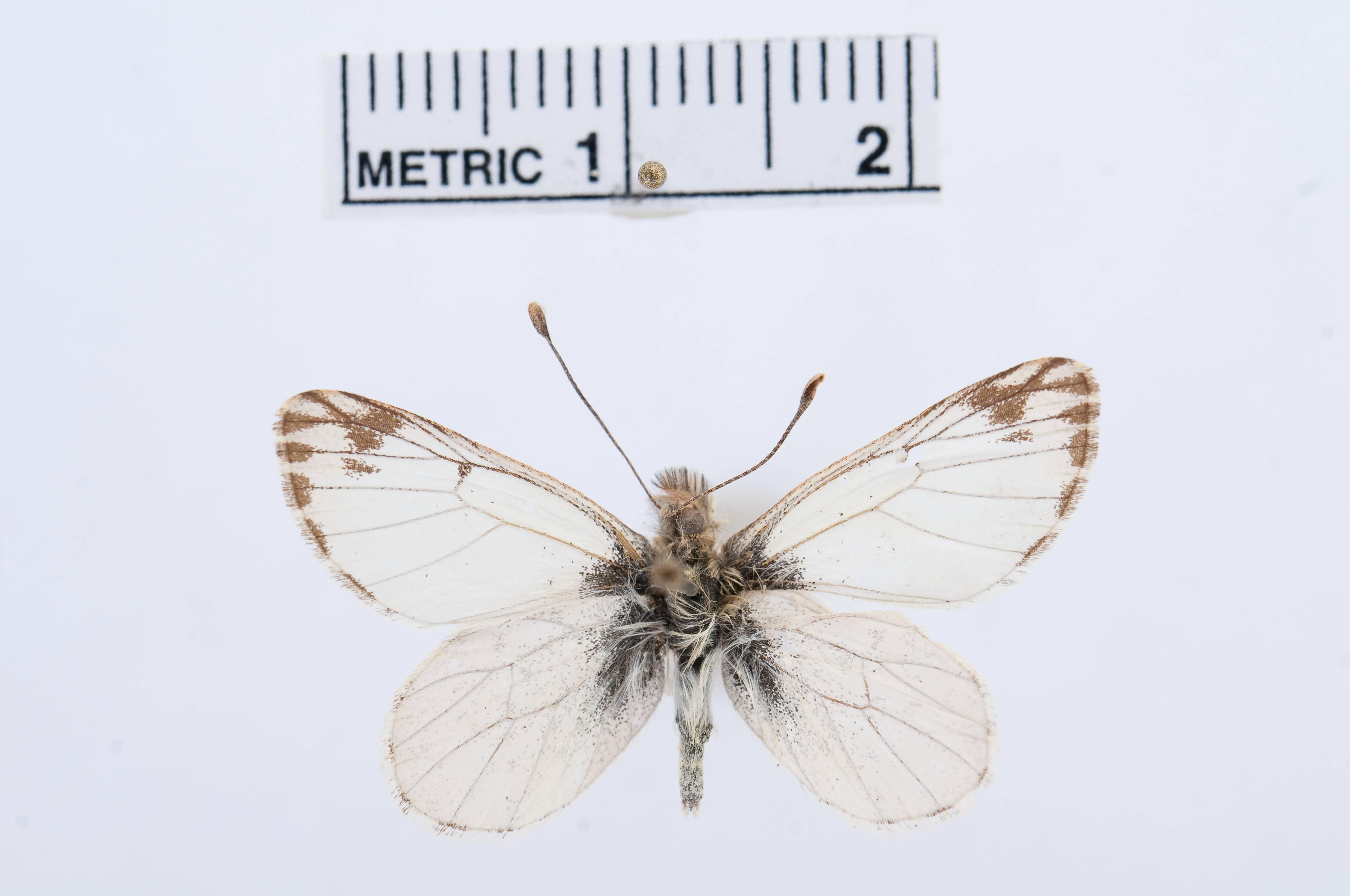 Image of <i>Pierphulia rosea</i> (Ureta 1956)