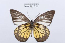 Image of <i>Prioneris cornelia</i> (Snellen van Vollenhoven 1865)