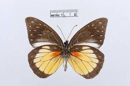 Image of <i>Prioneris hypsipyle</i> Weymer 1887