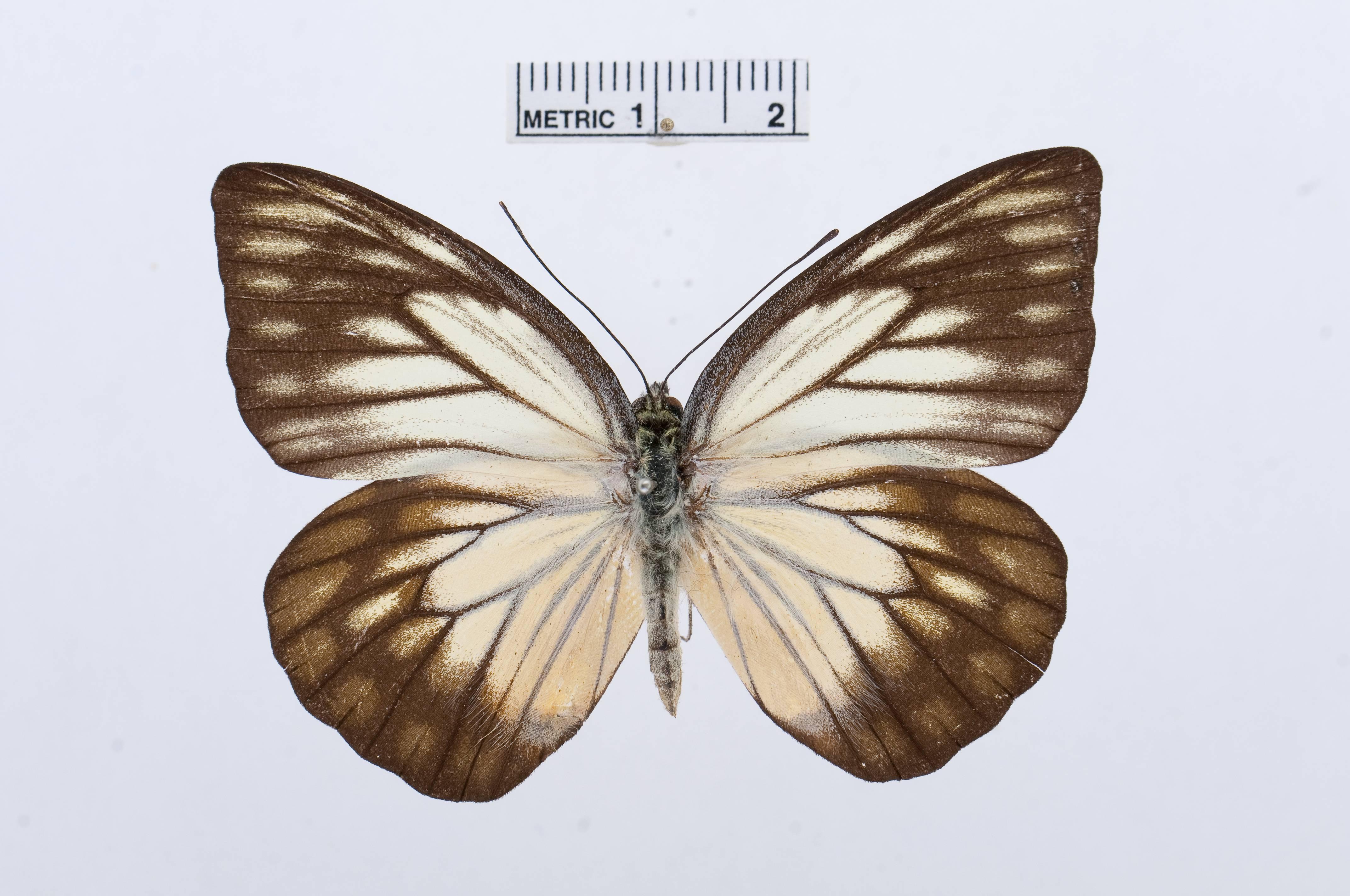 Image of <i>Prioneris philonome</i> (Boisduval 1836)