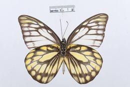 Image of <i>Prioneris thestylis</i> (Doubleday 1842)