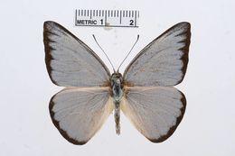 Image of <i>Saletara cycinna</i> (Hewitson 1868)