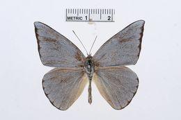 Image of <i>Saletara liberia</i> (Cramer (1779))