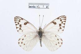 Image of <i>Tatochila autodice</i> (Hübner 1818)