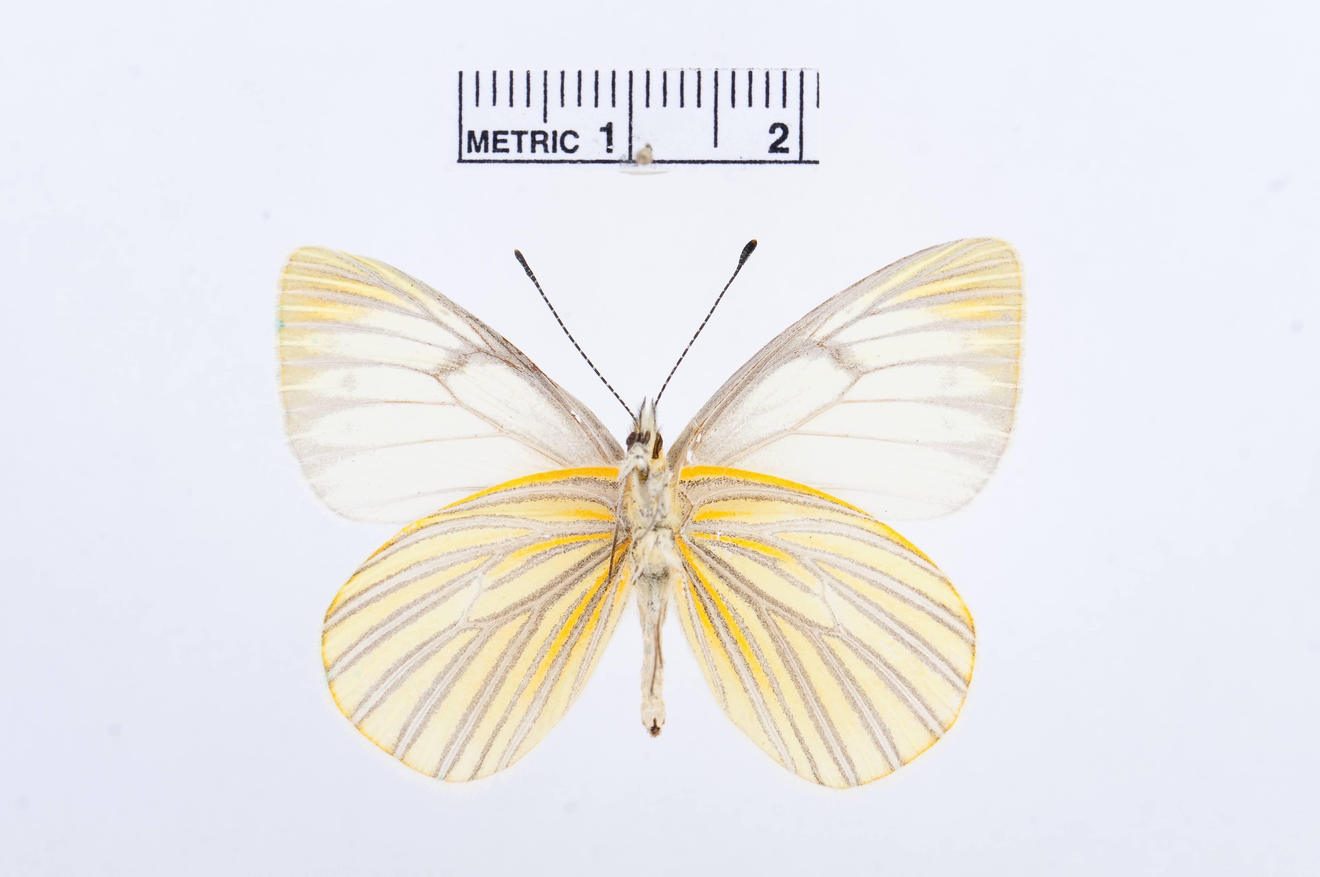Image of <i>Tatochila orthodice</i> (Weymer 1890)