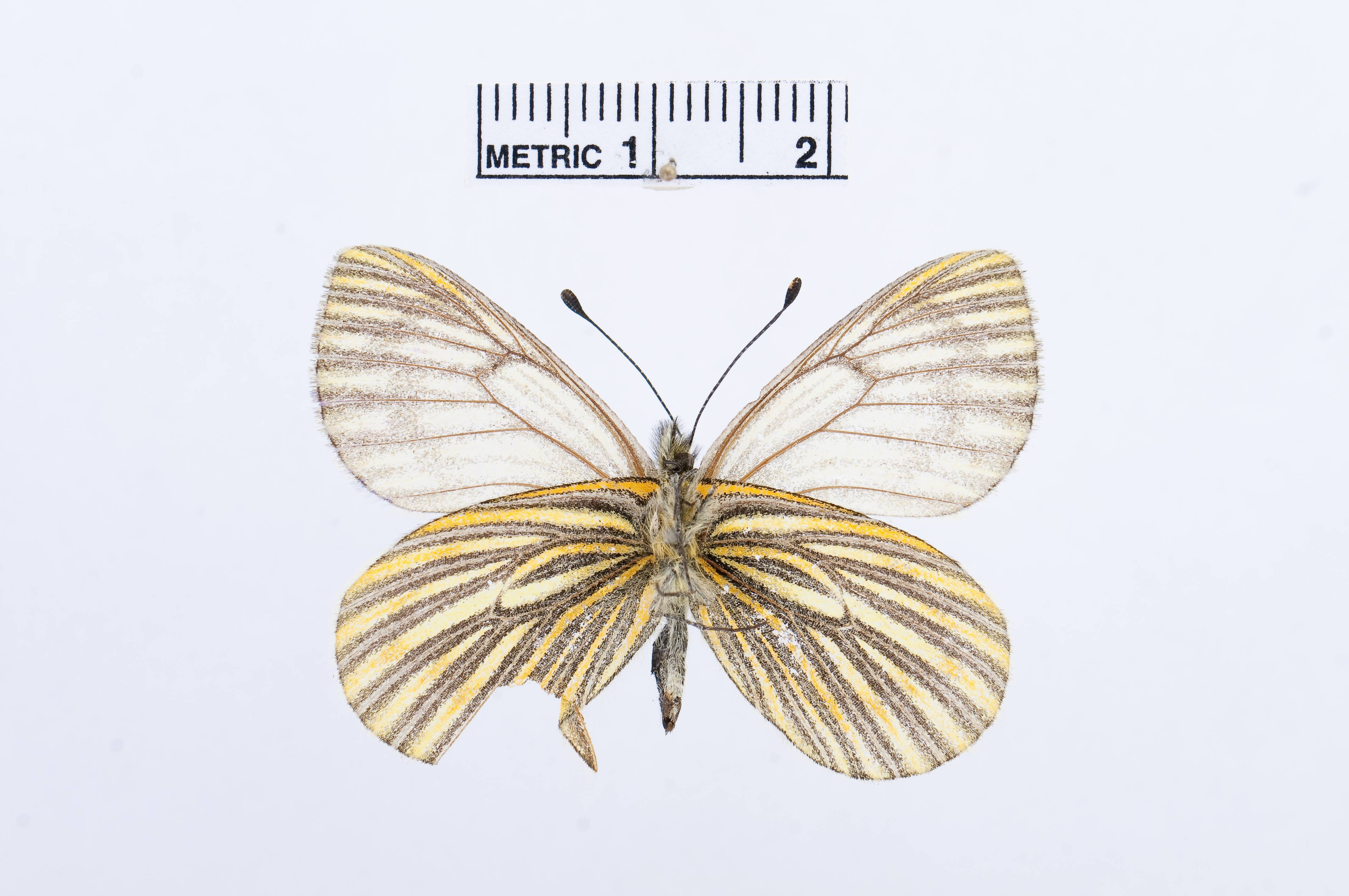 Image of <i>Tatochila xanthodice</i> (Lucas 1852)