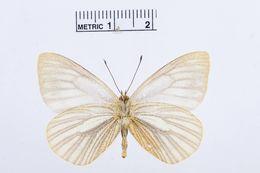 Image of <i>Theochila maenacte</i> (Boisduval 1836)