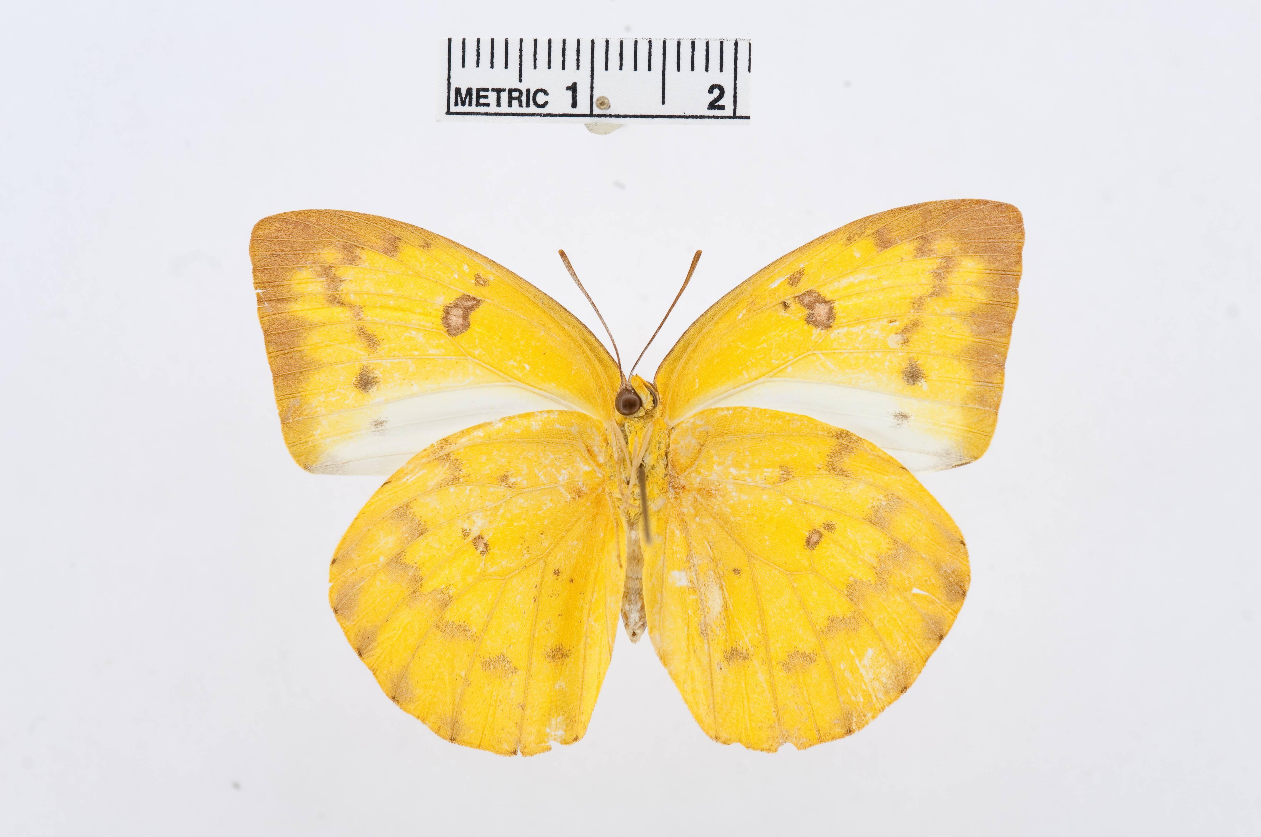 Image of <i>Catopsilia scylla</i> (Linnaeus 1763)