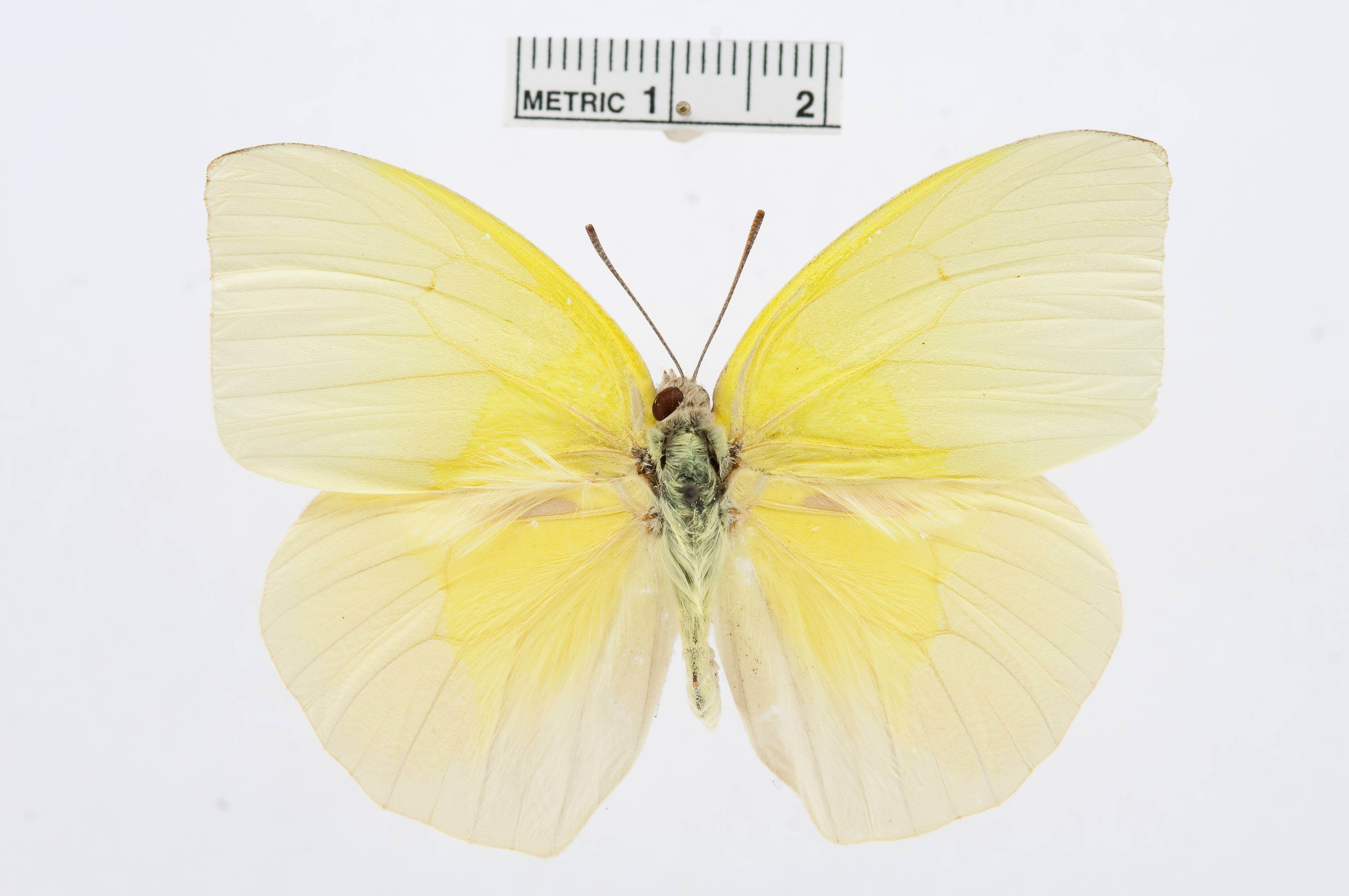 Image of <i>Catopsilia thauruma</i> (Reakirt 1866)