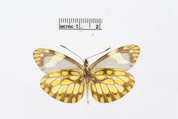 Image of <i>Dismorphia hyposticta</i> (Felder & Felder 1861)