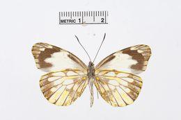 Image of <i>Dismorphia lewyi</i> (Lucas 1852)