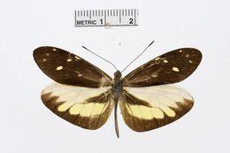 Image of <i>Dismorphia lua</i> (Hewitson 1869)
