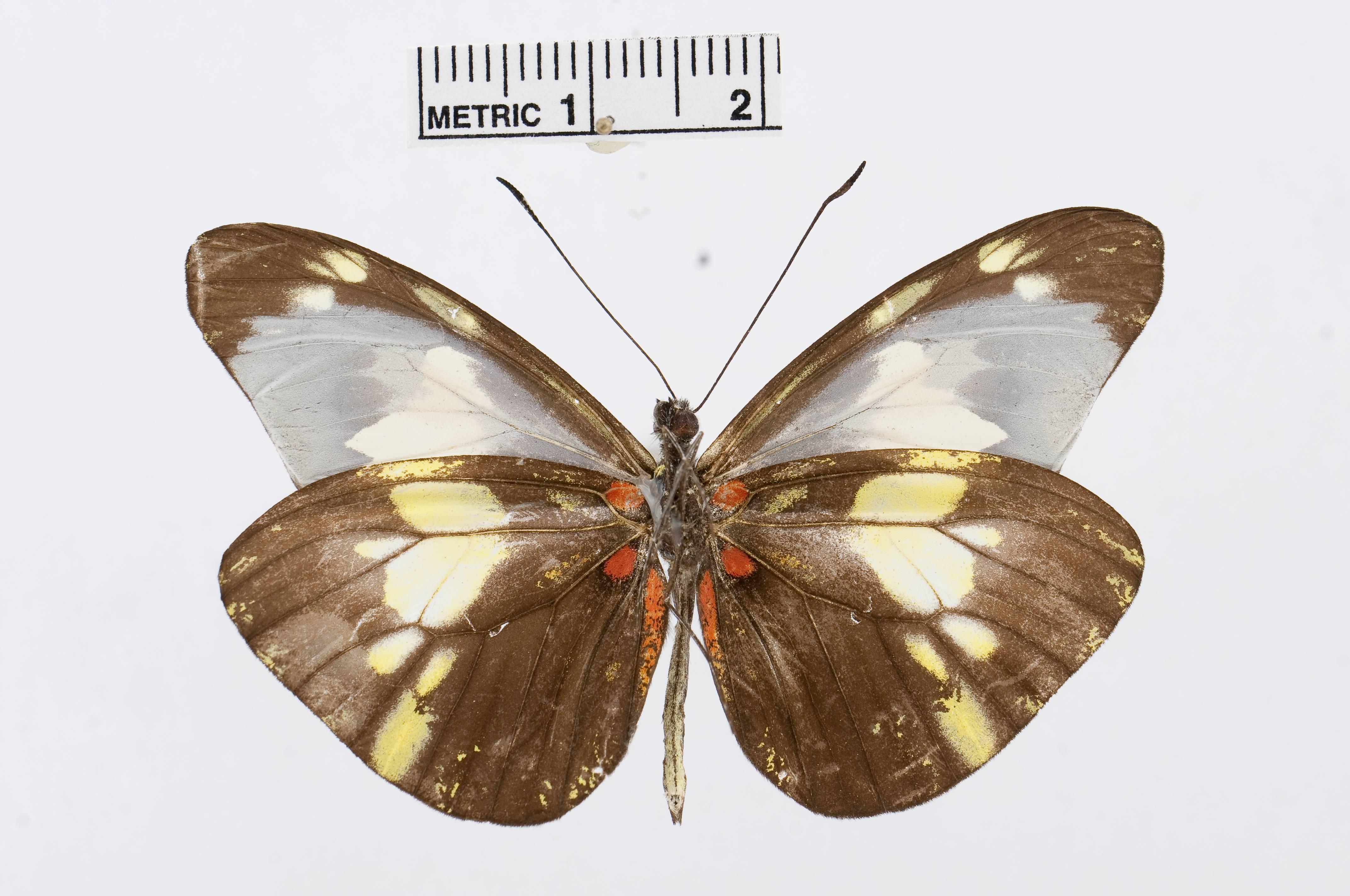 Image of <i>Dismorphia lycosura</i> (Hewitson (1860))