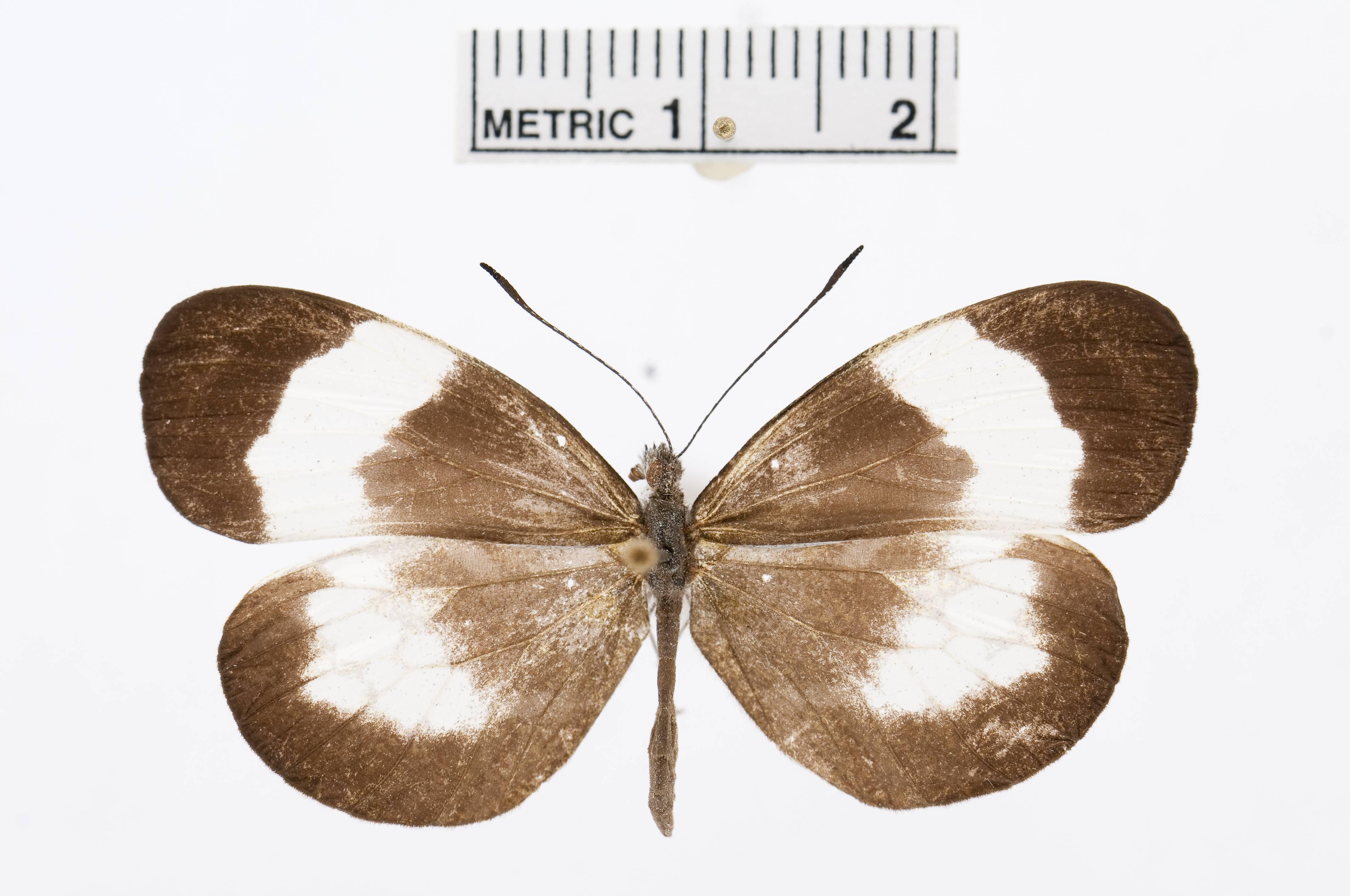 Image of <i>Dismorphia lysis</i> (Hewitson 1869)