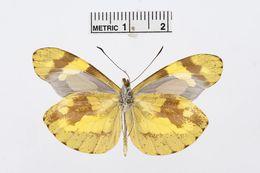 Image of <i>Dismorphia medora</i> (Doubleday 1844)