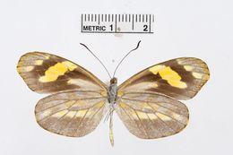 Image of <i>Dismorphia medorilla</i> (Hewitson 1877)