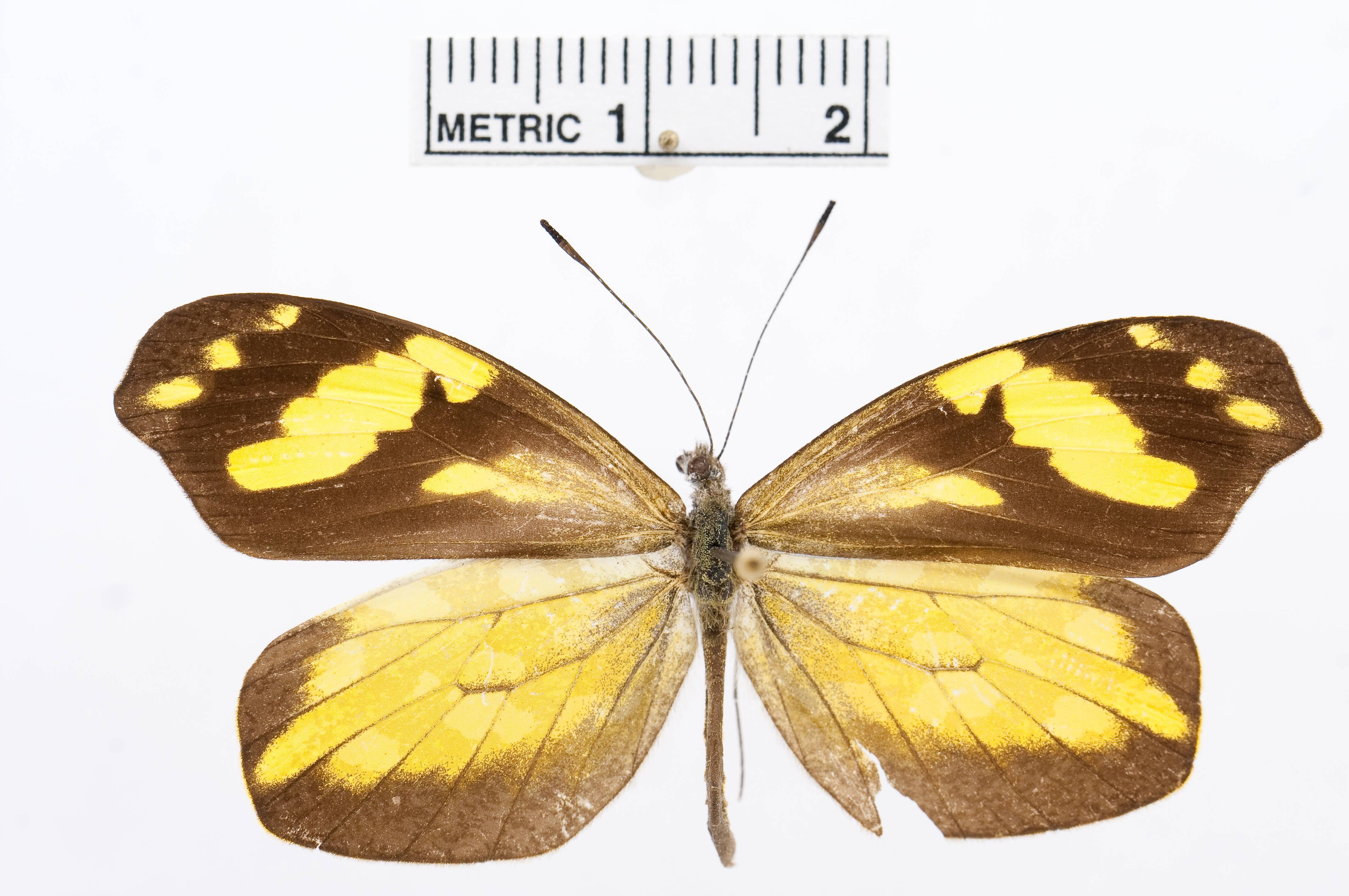 Image of <i>Dismorphia pseudolewyi</i> Forster 1955