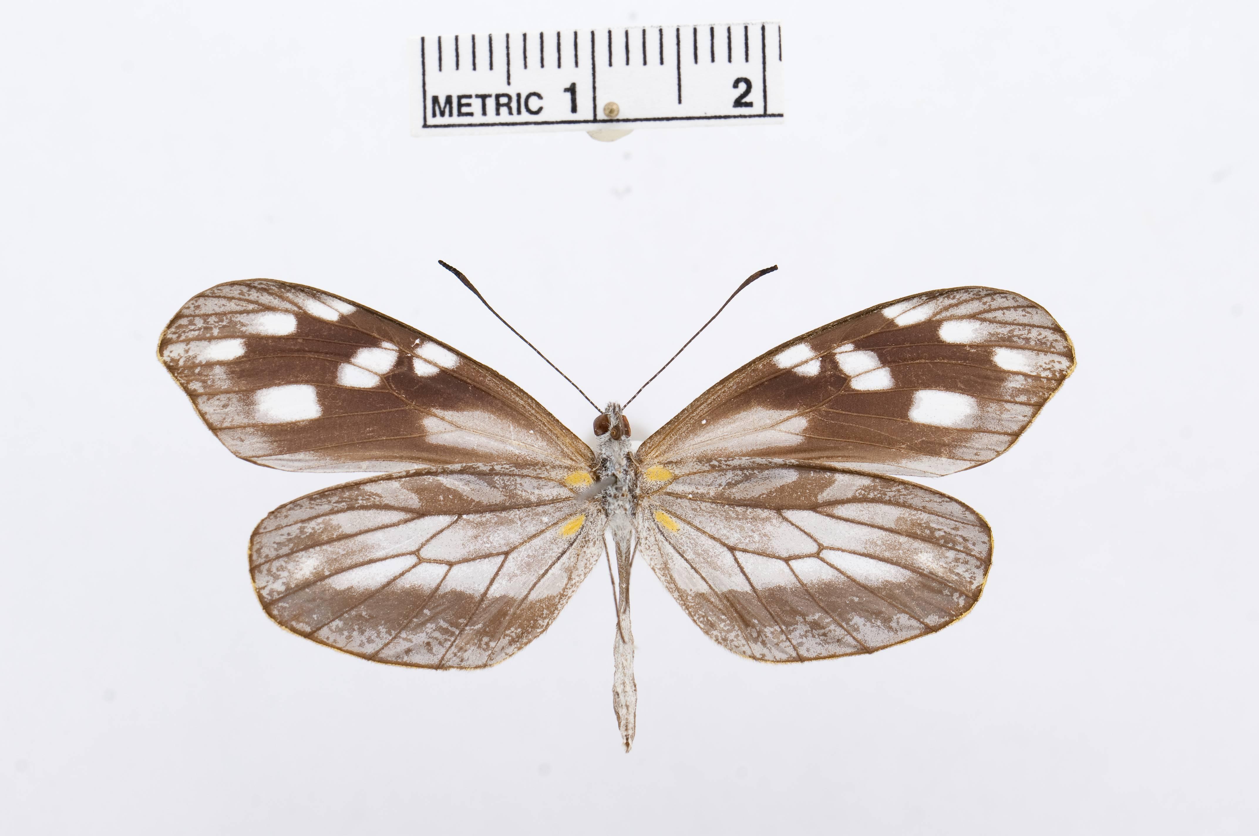 Image of <i>Dismorphia teresa</i> (Hewitson 1869)