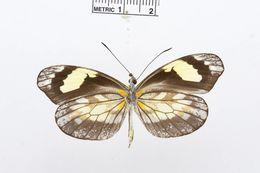 Image of <i>Dismorphia zaela</i> (Hewitson (1858))