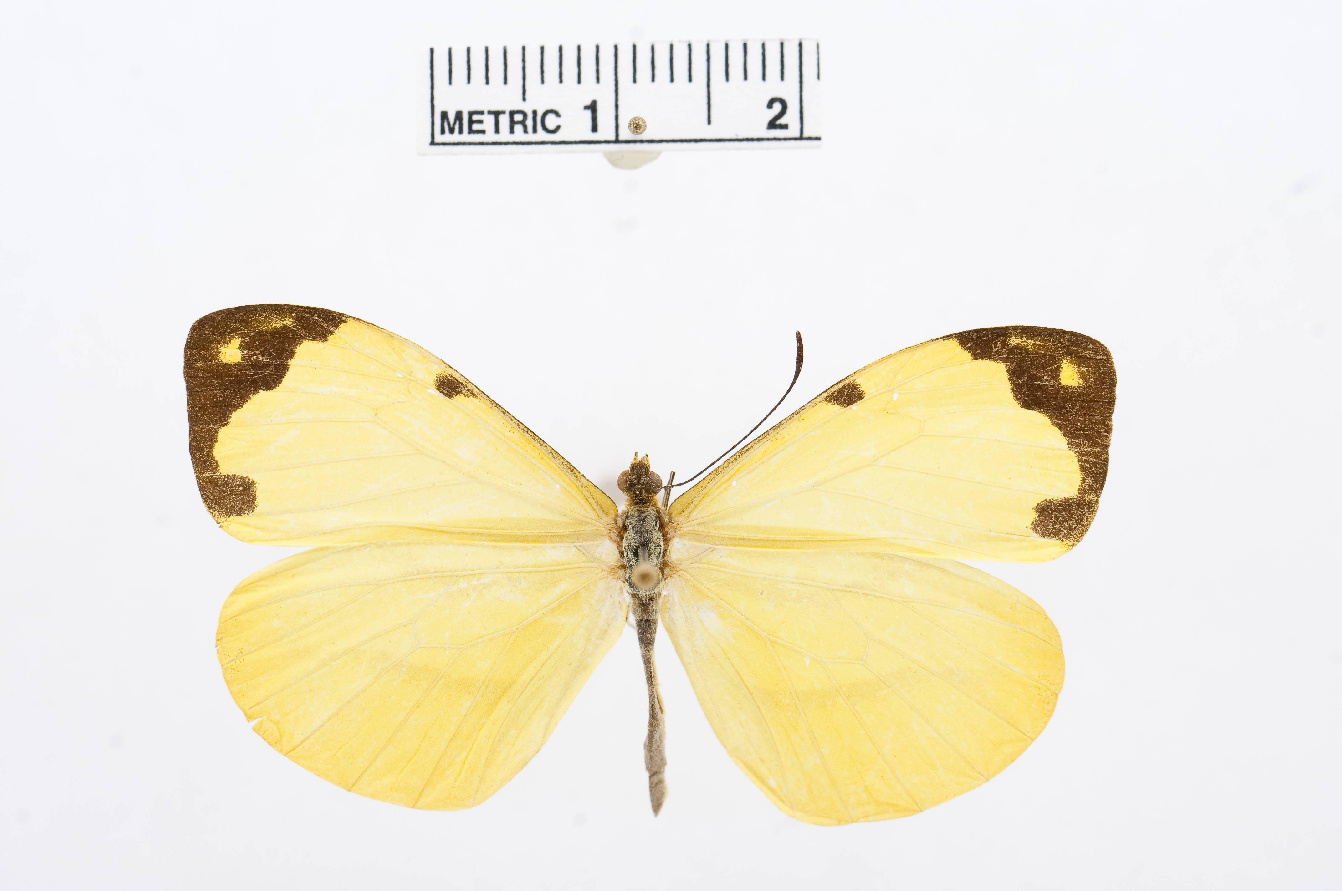 Image of <i>Enantia citrinella</i> (Felder & Felder 1861)