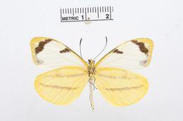Image of <i>Enantia clarissa</i> (Weymer 1895)