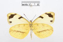 Image of <i>Enantia jethys</i> (Boisduval 1836)