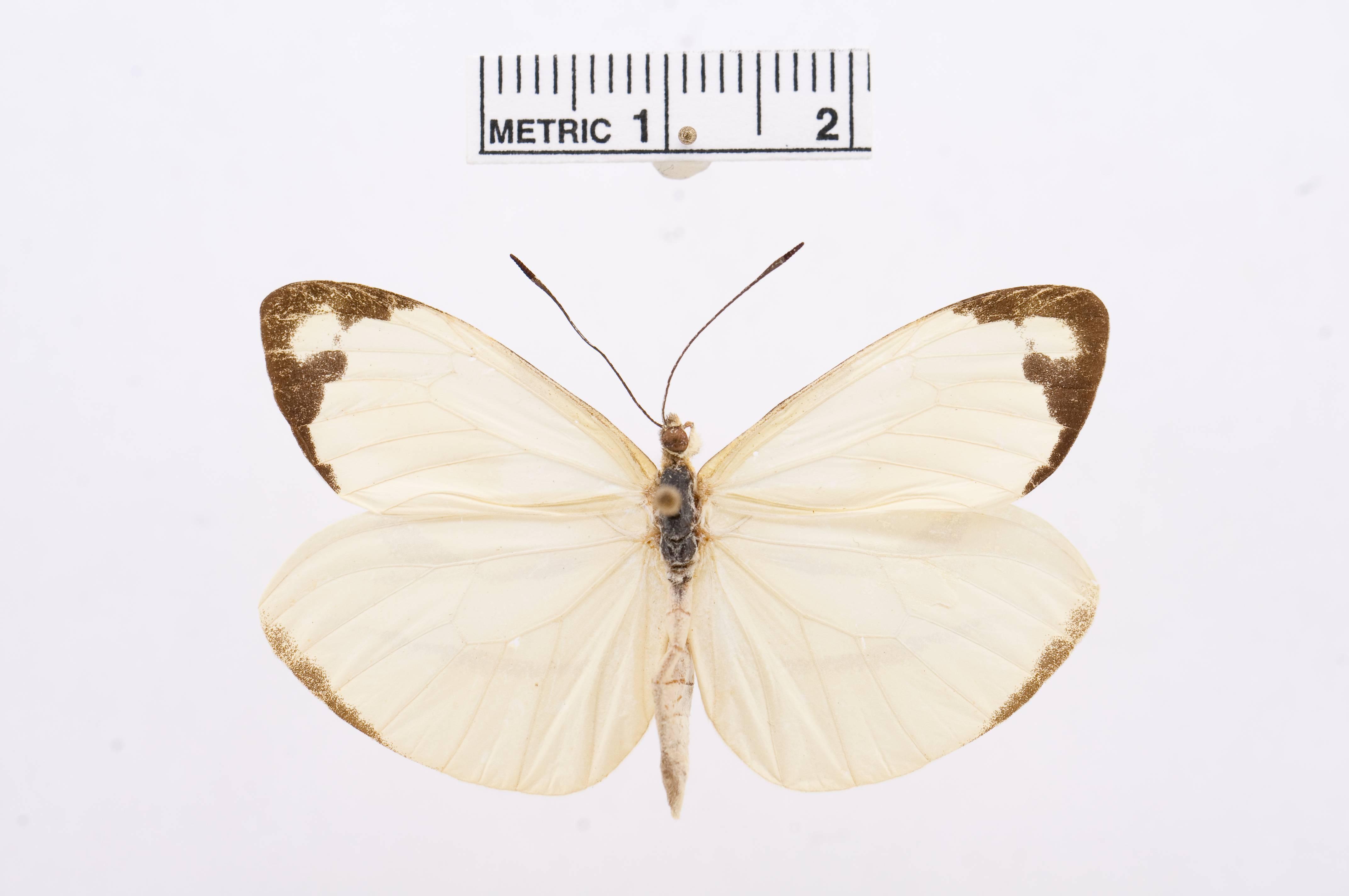 Image of <i>Enantia lina</i> (Herbst 1792)