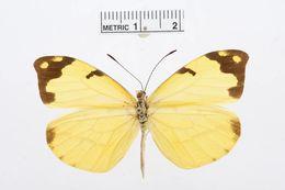 Image of <i>Enantia mazai</i> Llorente-Bousquets 1984
