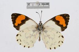 Image of <i>Eroessa chilensis</i>
