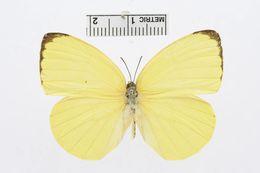 Image of <i>Gandaca butyrosa</i> (Butler 1875)
