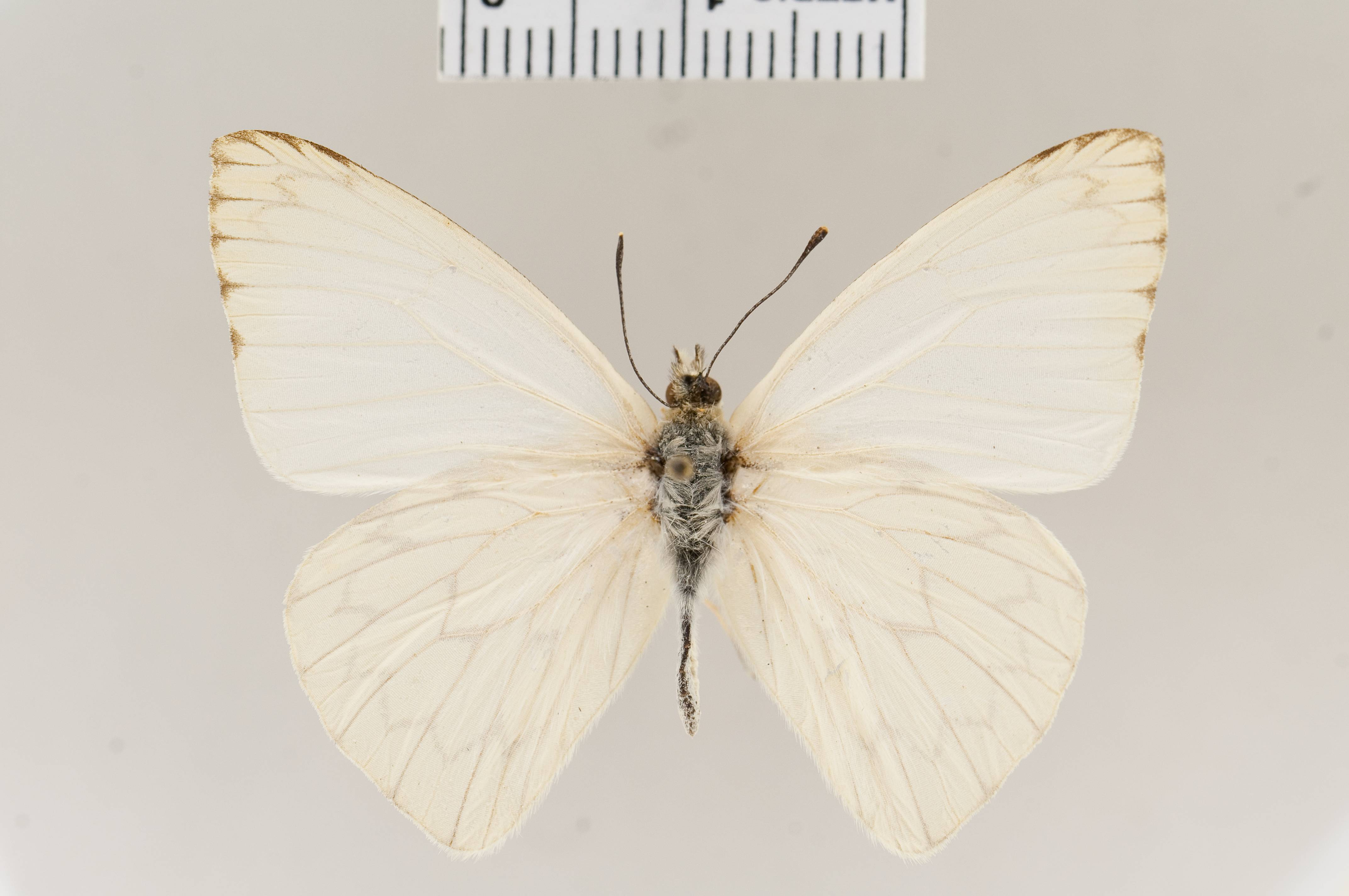 Image of <i>Hesperocharis anguitia</i> (Godart 1819)