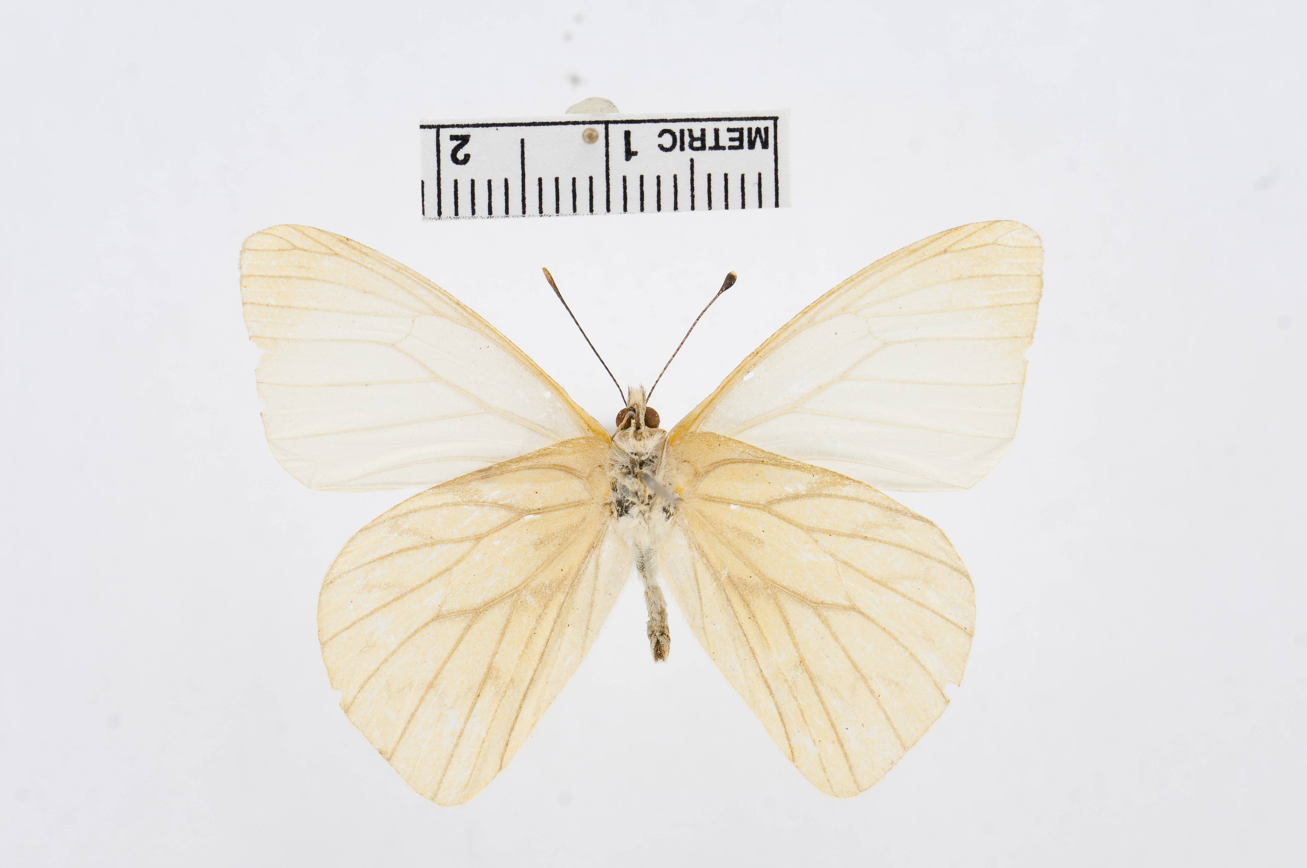Image of <i>Hesperocharis costaricensis</i> Bates 1866