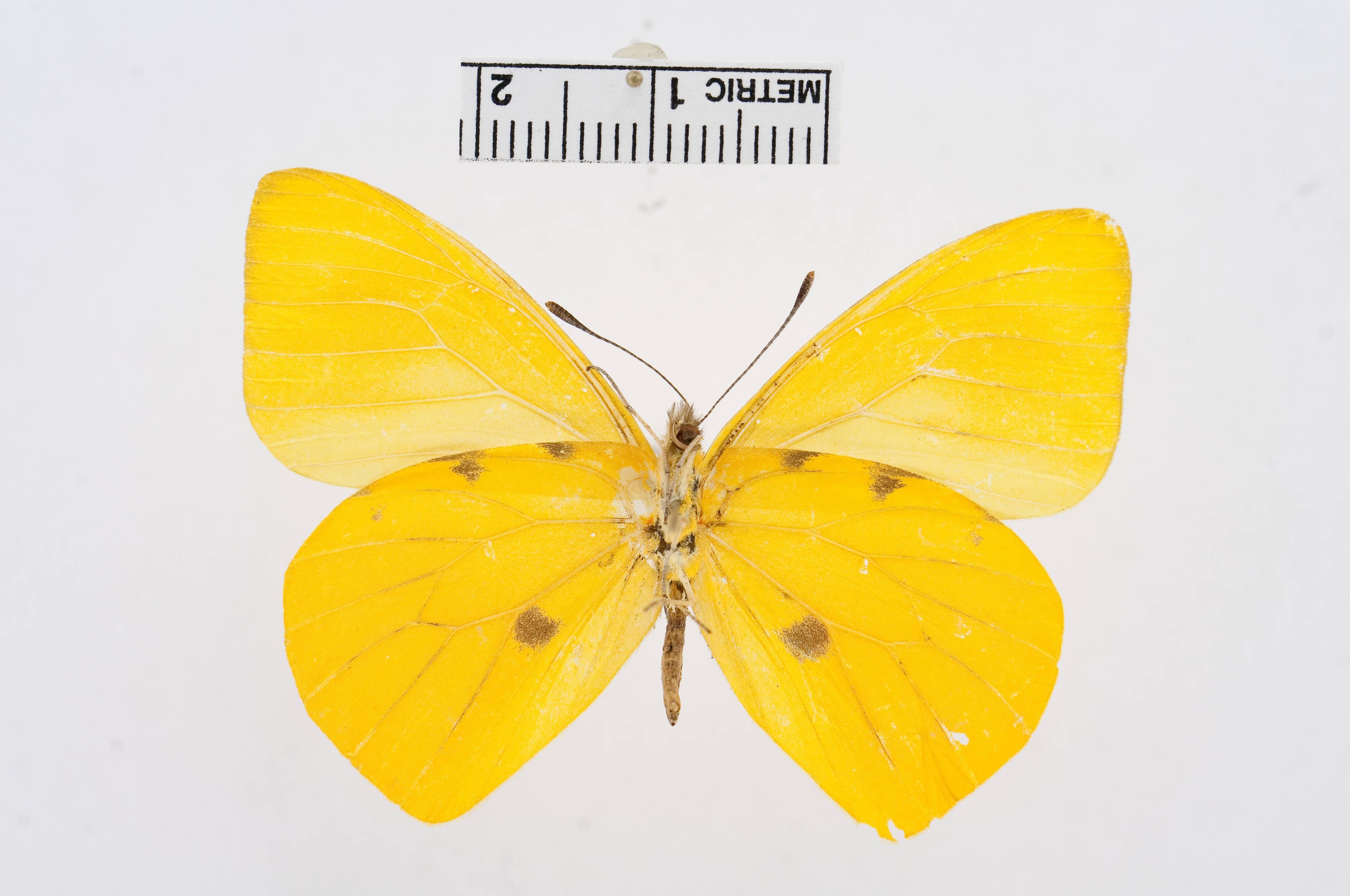 Image of <i>Hesperocharis crocea</i> Bates 1866