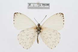 Image of <i>Hesperocharis erota</i> (Lucas 1852)